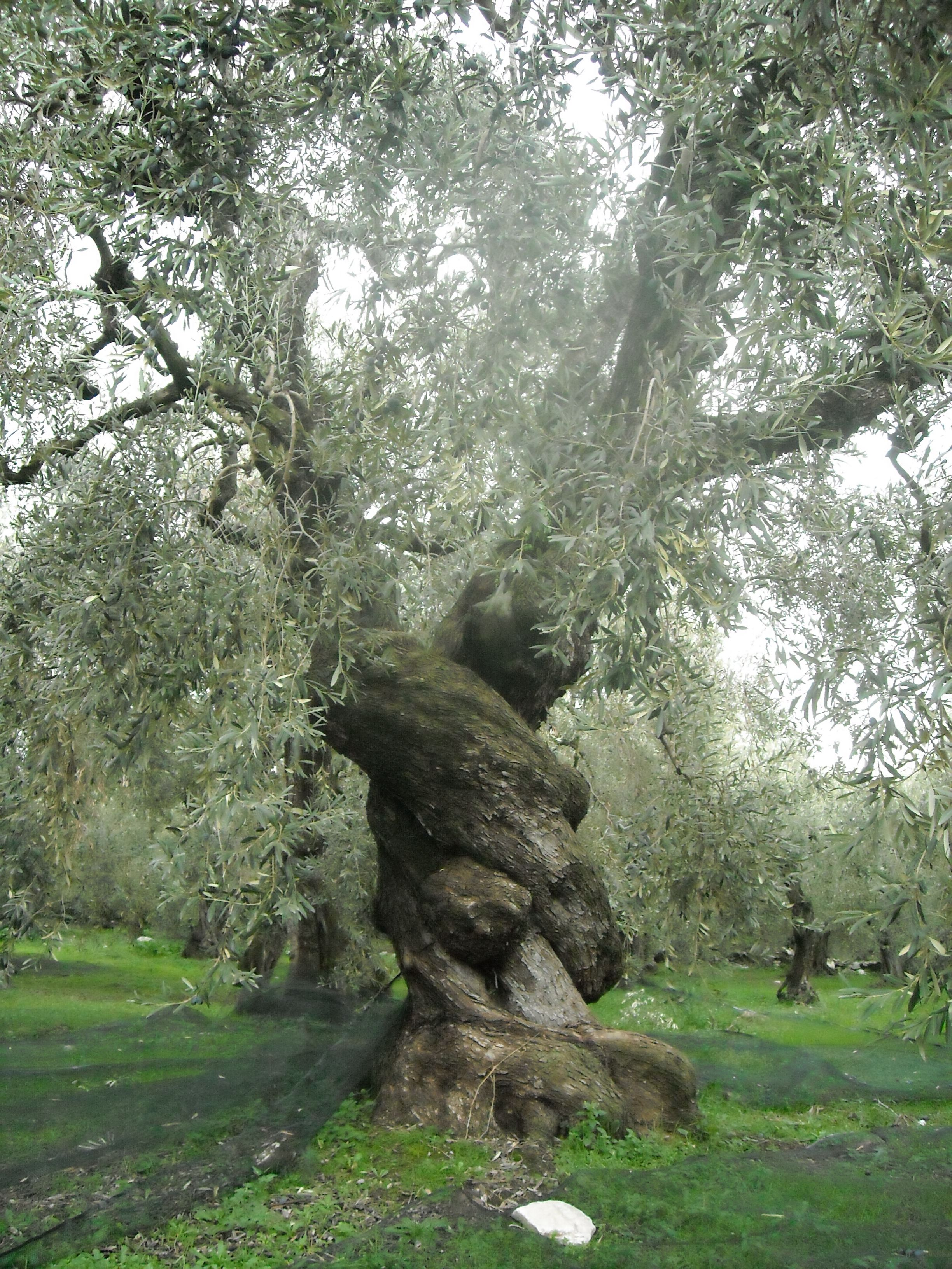 The History of Olives - OliveGrove - Chalkidiki - Greece